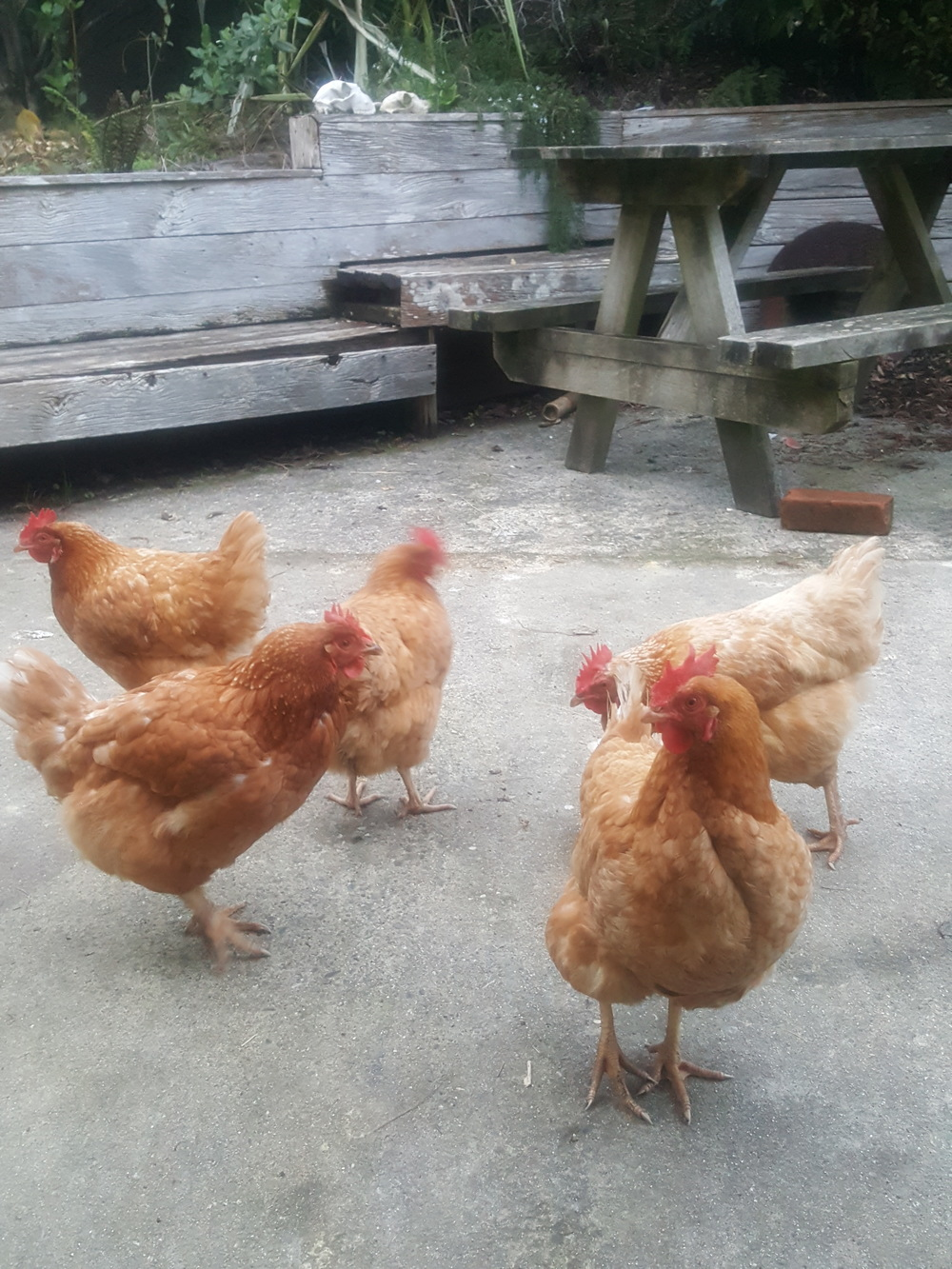 My mates the chickens.
