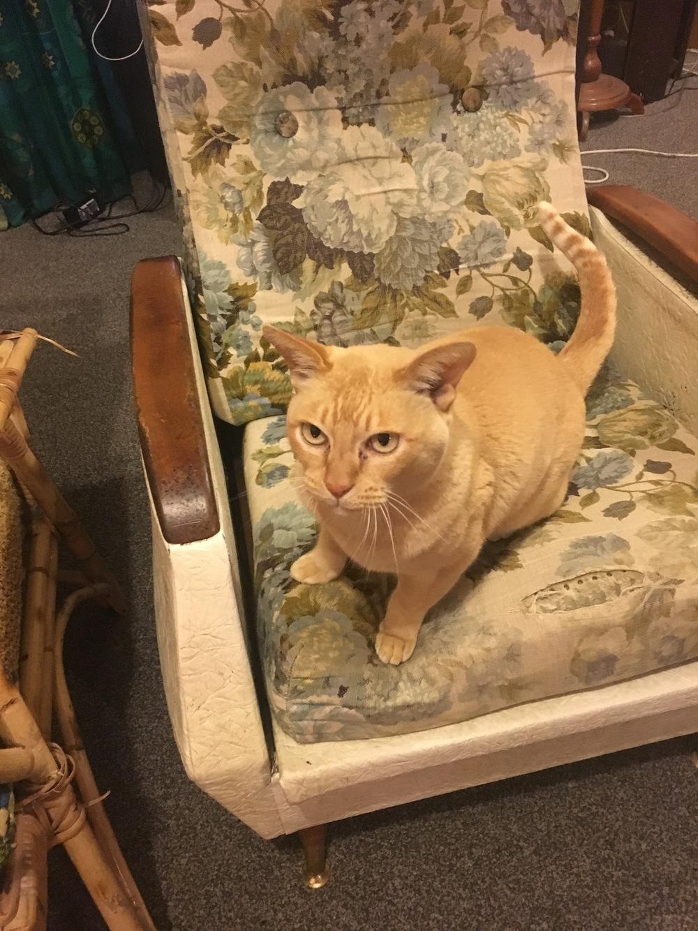 Cat Sitting. Meet Hobo!