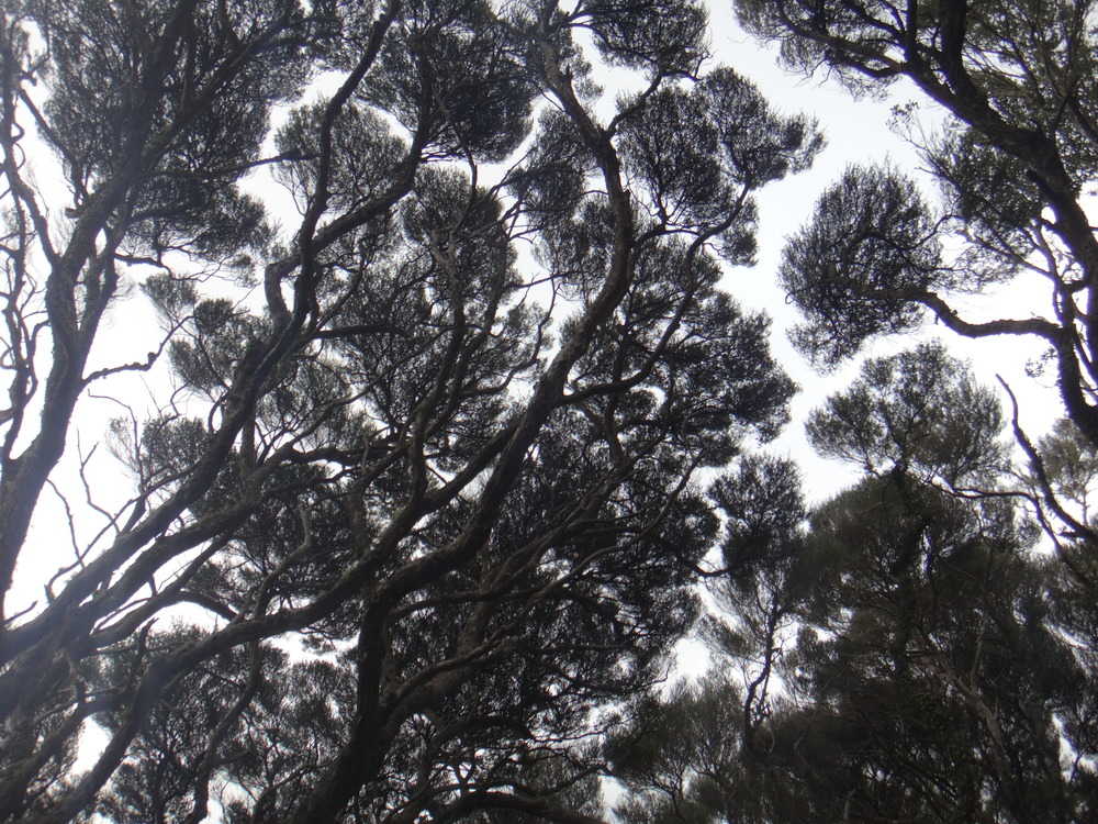 Manuka looking like black lace in the skies.