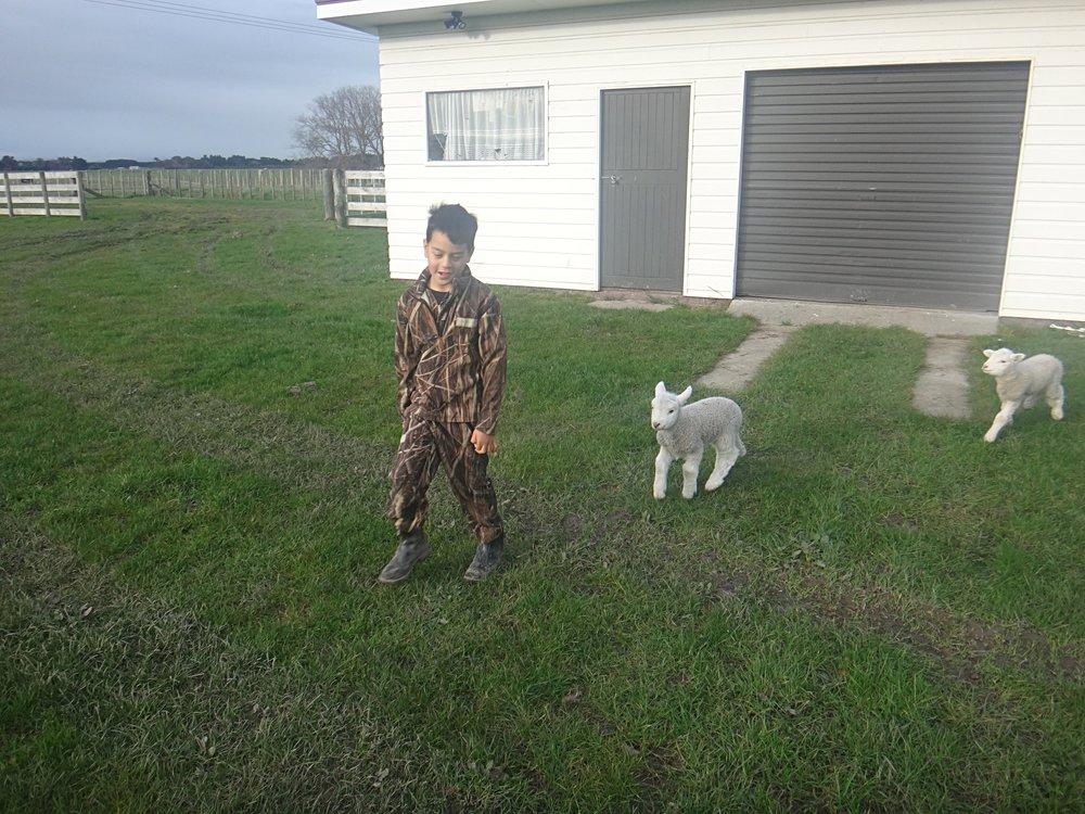Pet lambs playing.