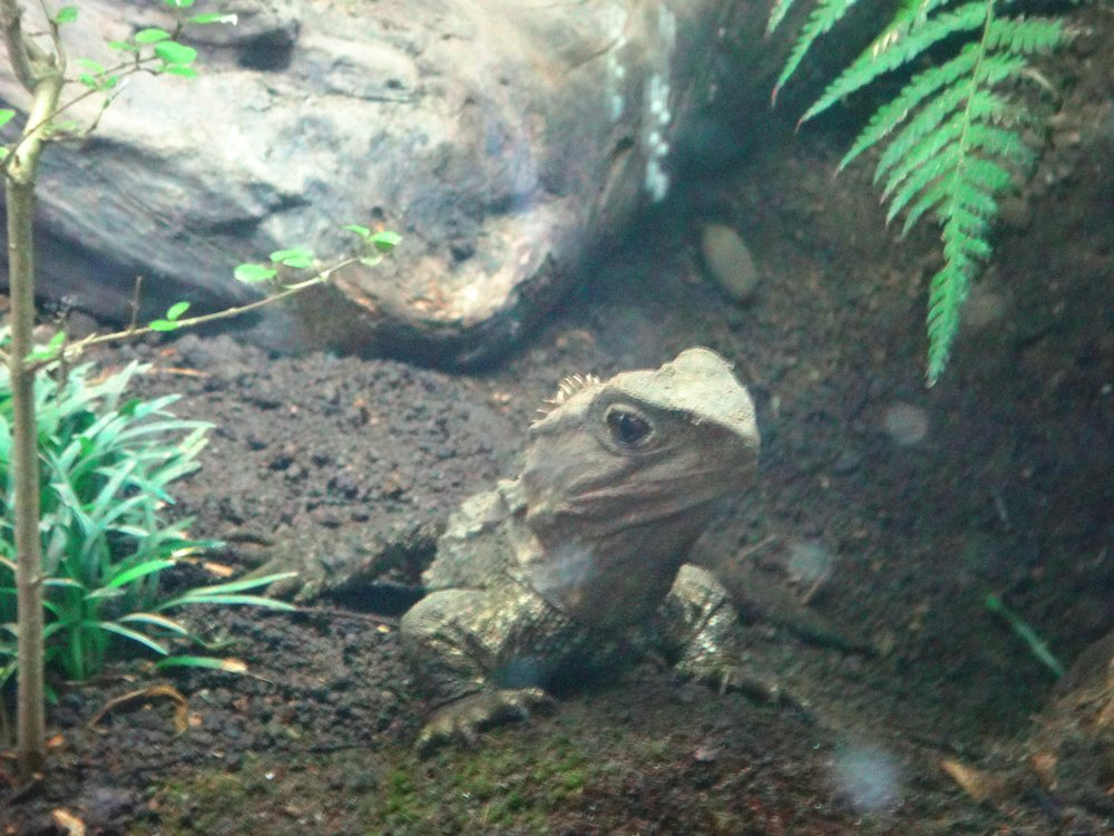 Tuatara at Kiwi House.