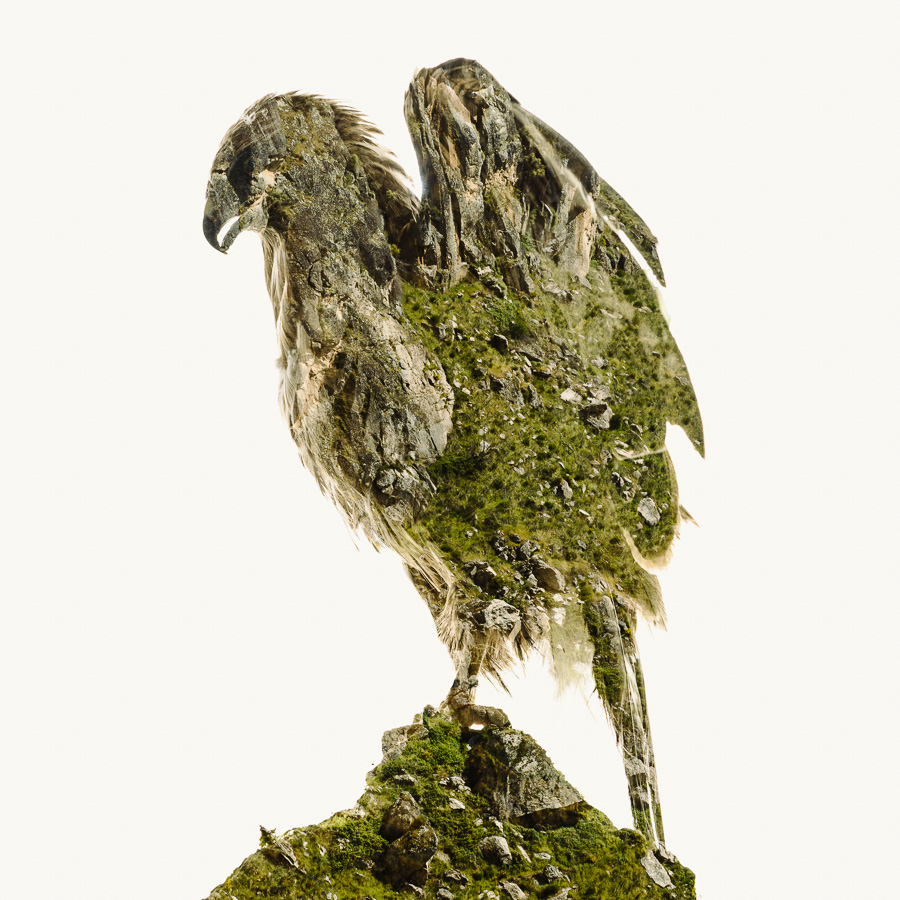 Soon-to-Fly-Black-Kite.jpg
