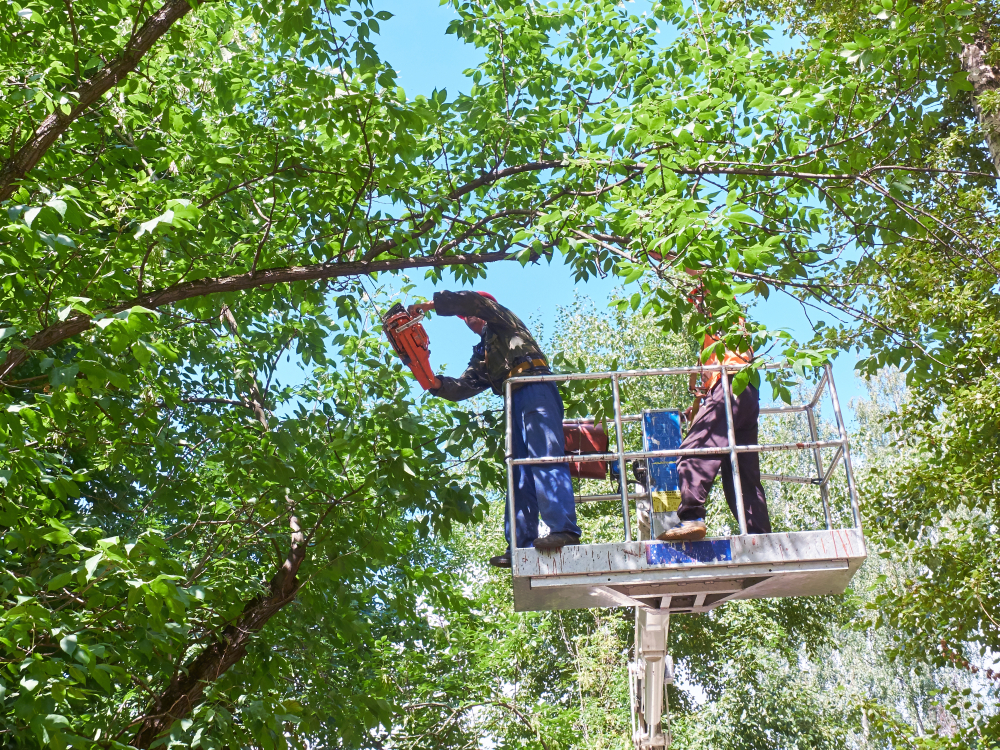 Elagage - Les arbres font partie de notre patrimoine. Ils ont besoin d'être entretenus par des professionnels.Nous vous conseillerons pour une intervention adaptée.