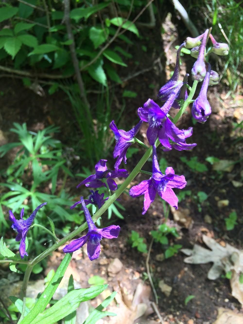 Carolina larkspur (Delphinium carolinianum)