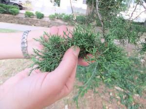 Removing leaves of eastern redcedar (Juniperus virginiana)