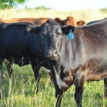 Horn fly load on a beef cow in unburned prairie