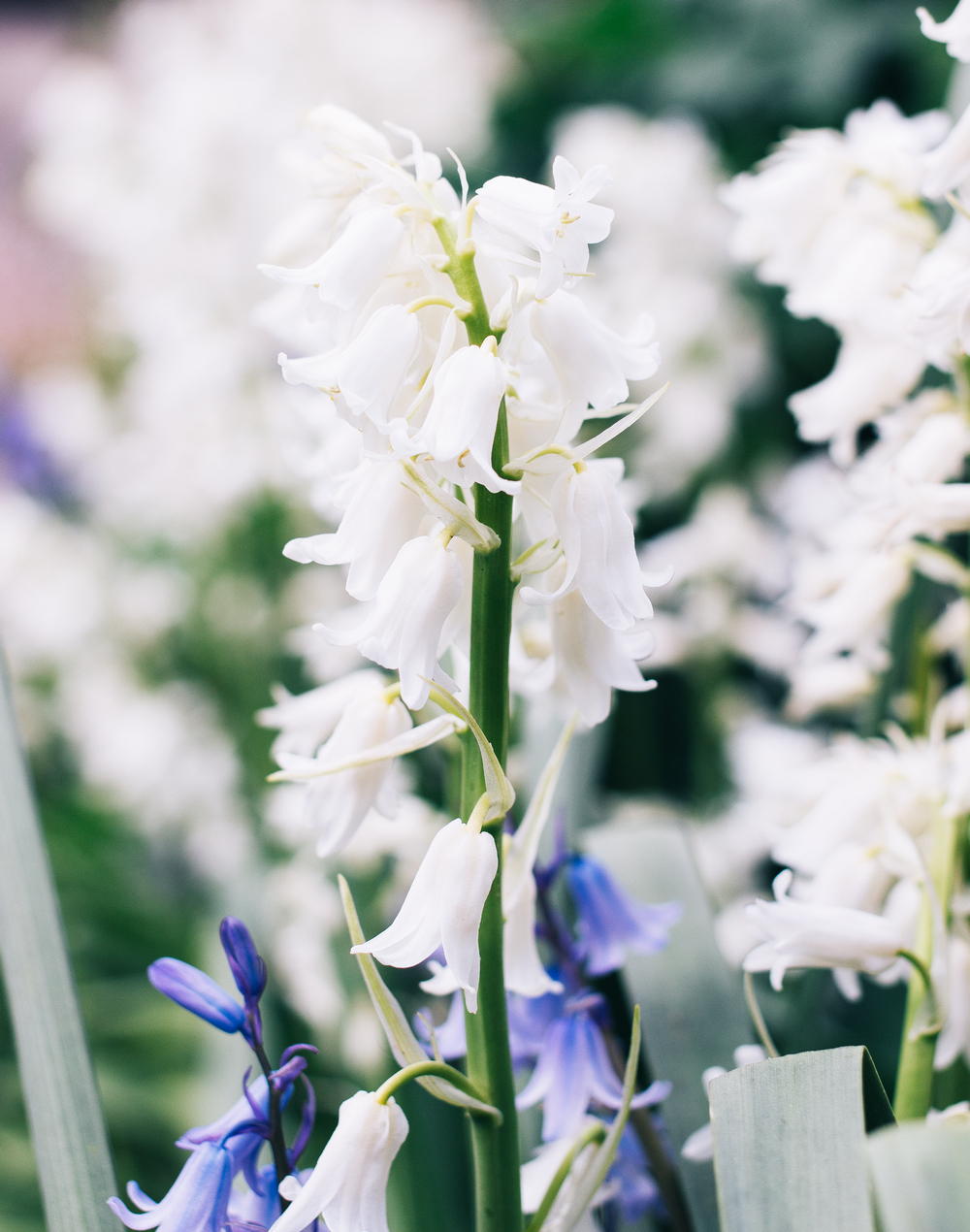 From-Roses---White-bells.png