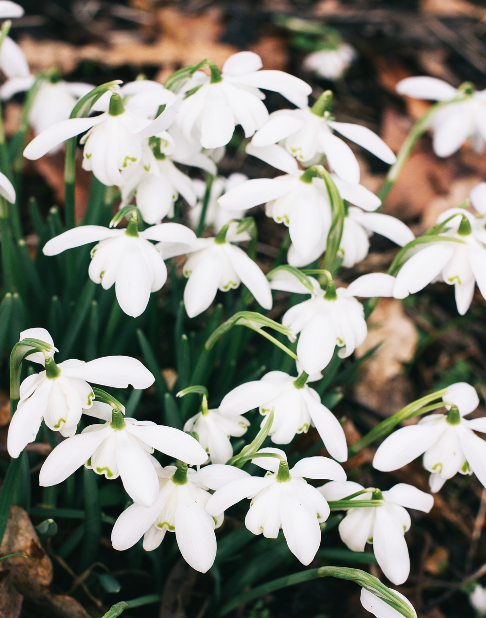 Snowdrops-2.png