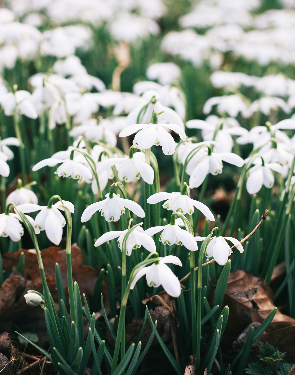Snowdrops-3.png