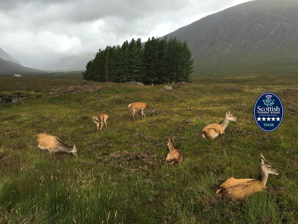 deer resting in glencoe