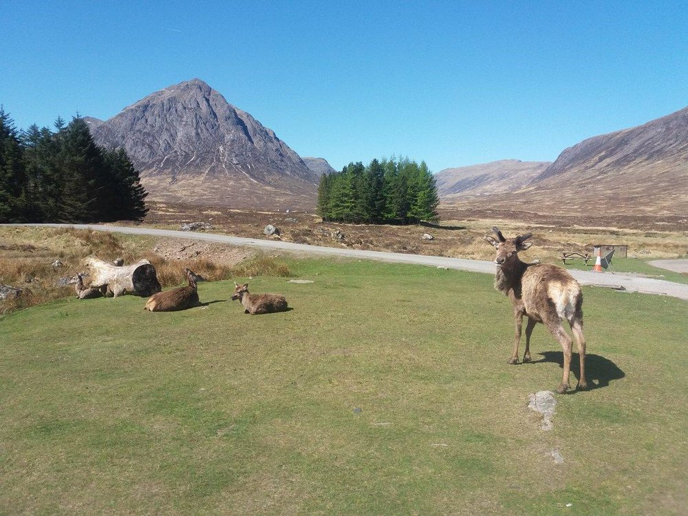 Scotland's largest land animal the Red Deer, resting in Glencoe