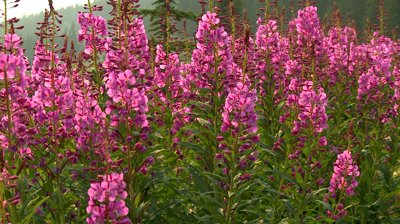 stock-footage-fireweed-wildflowers-with-bees-in-the-rocky-mountains.jpg