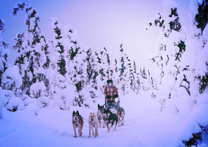 Black Spruce Dog Sledding