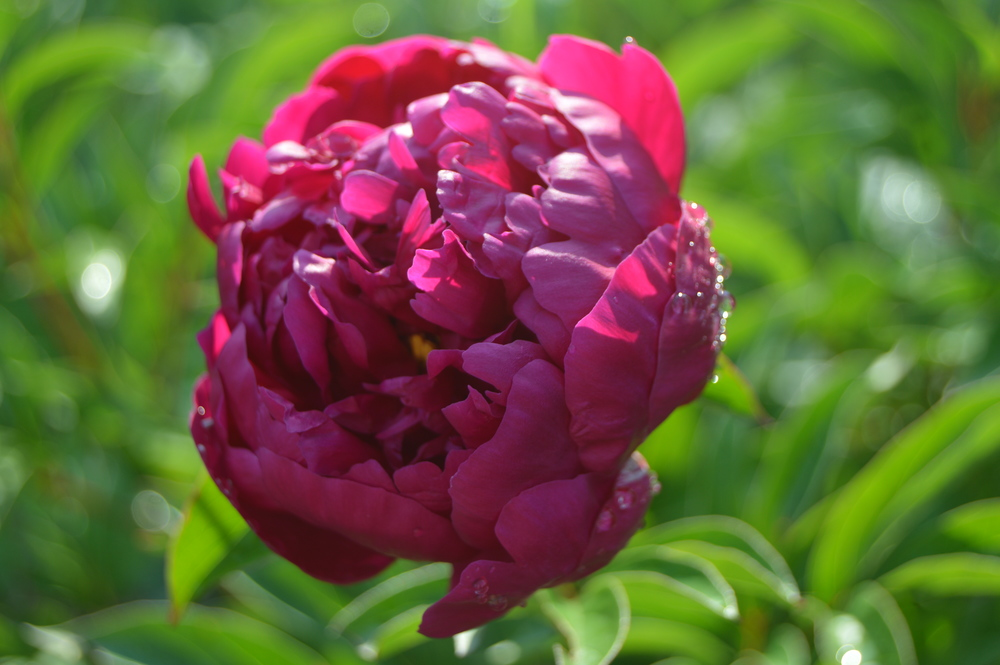 pink peonies pink blooms