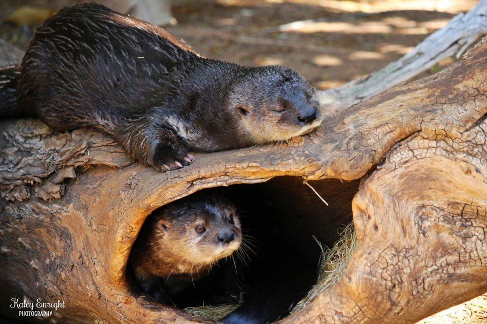 Kaley+Enright+Photography+Otters.jpg