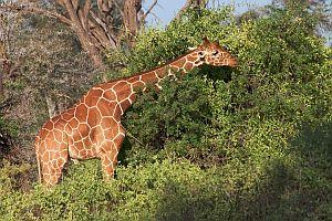 girafe réticulée 06