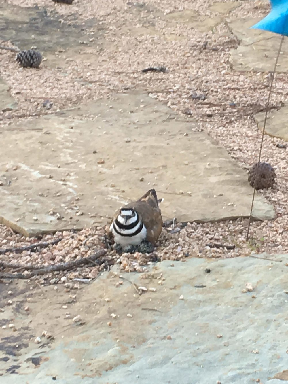 Killdeer Nesting in June 2016 at the Tee Garden