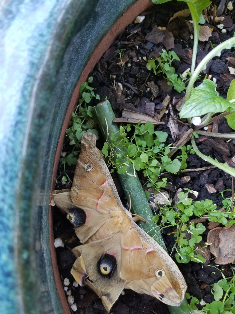 Polythemus Moth August 2017