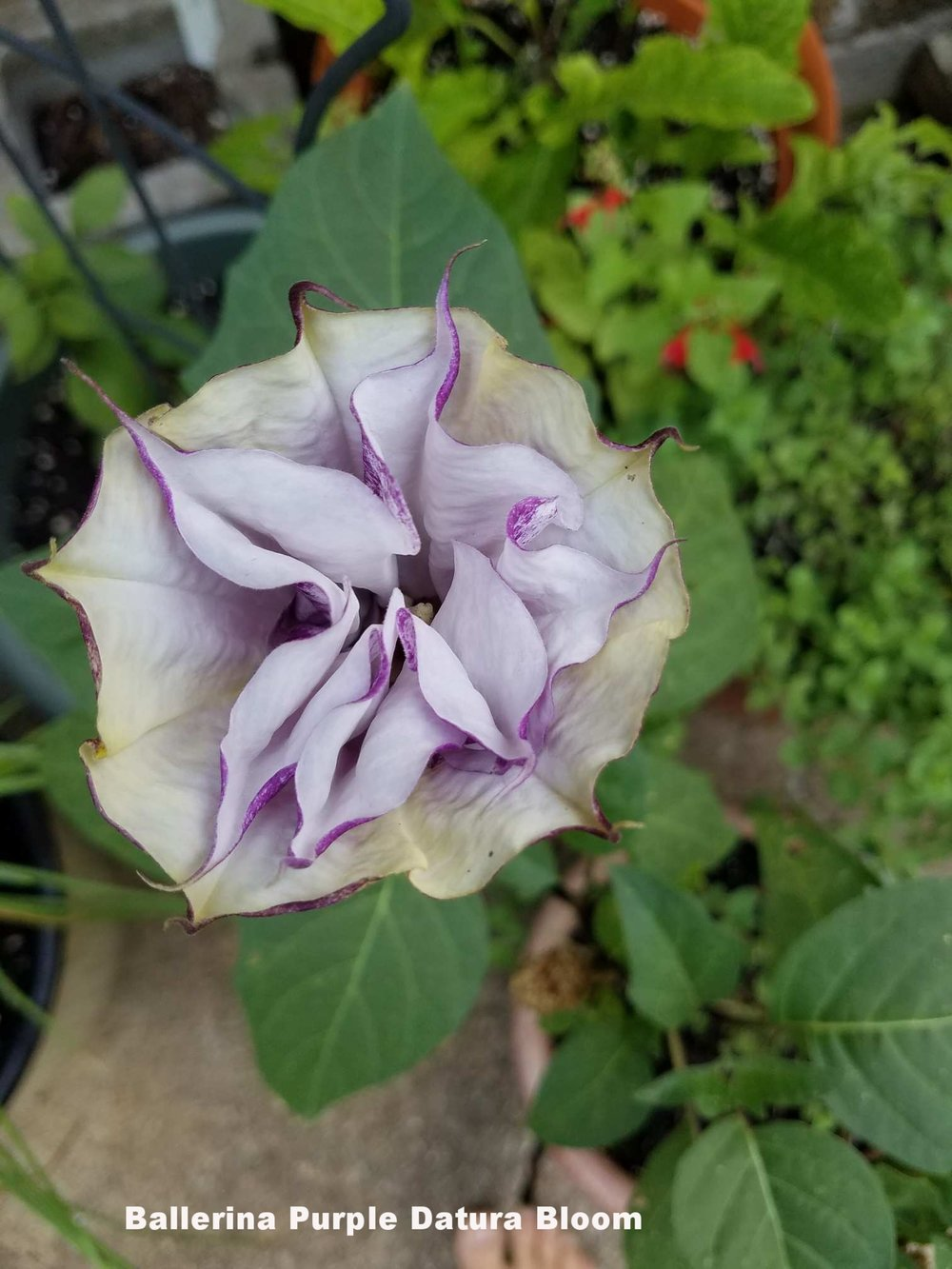 Ballerina Purple Datura 1.jpeg