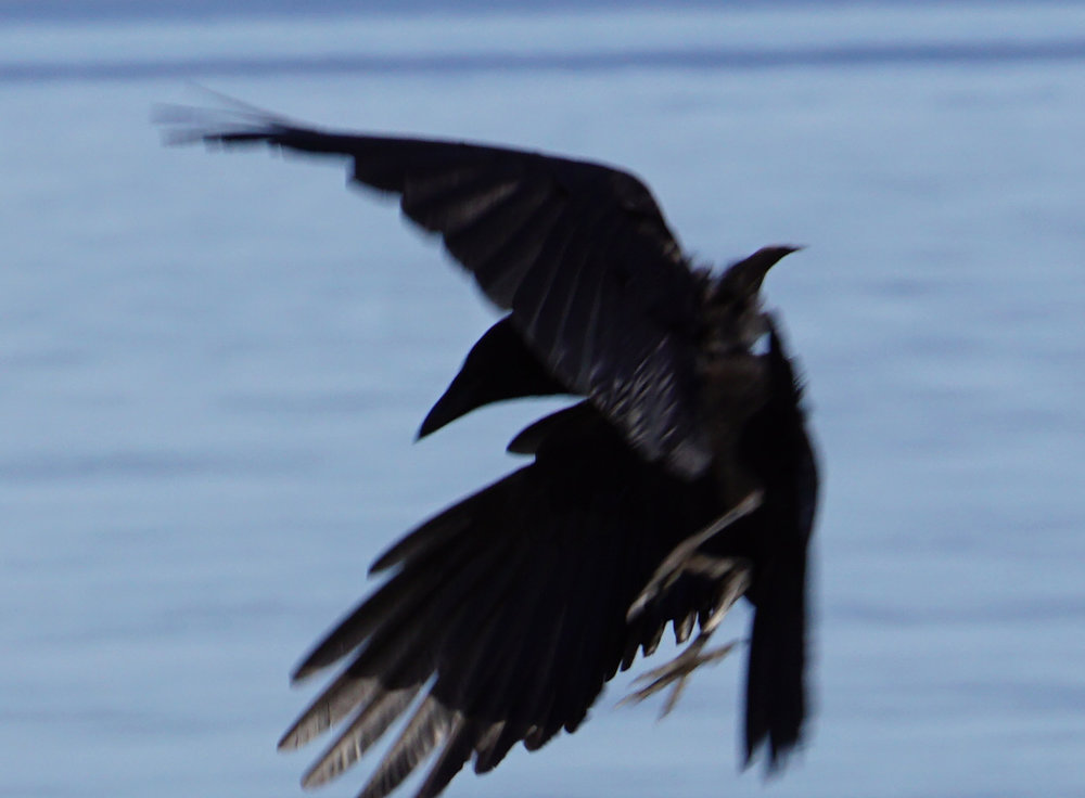 raven3.jpg
