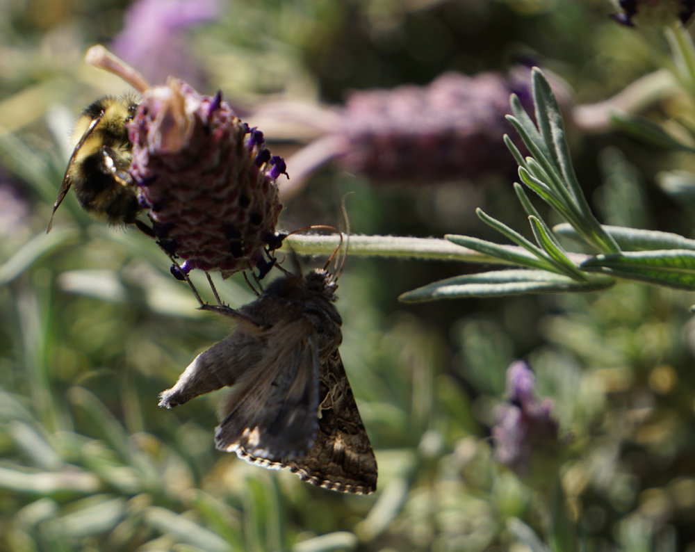 bee and moth.jpg