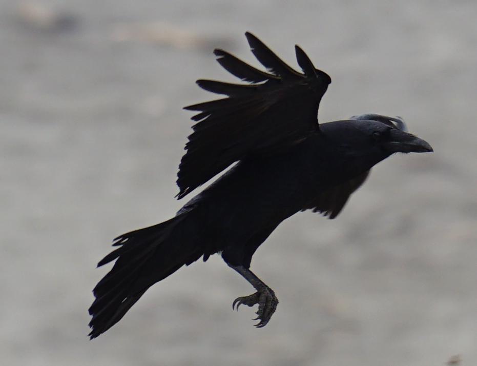 Raven 3 2018.jpg