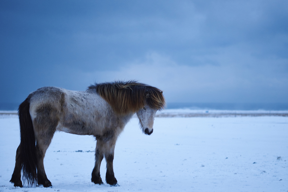 Icelandic Horse_x2048.jpg