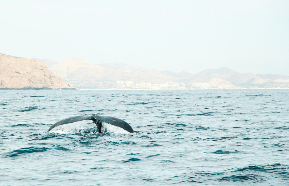 Whale watching | Cabo San Lucas, Mexico