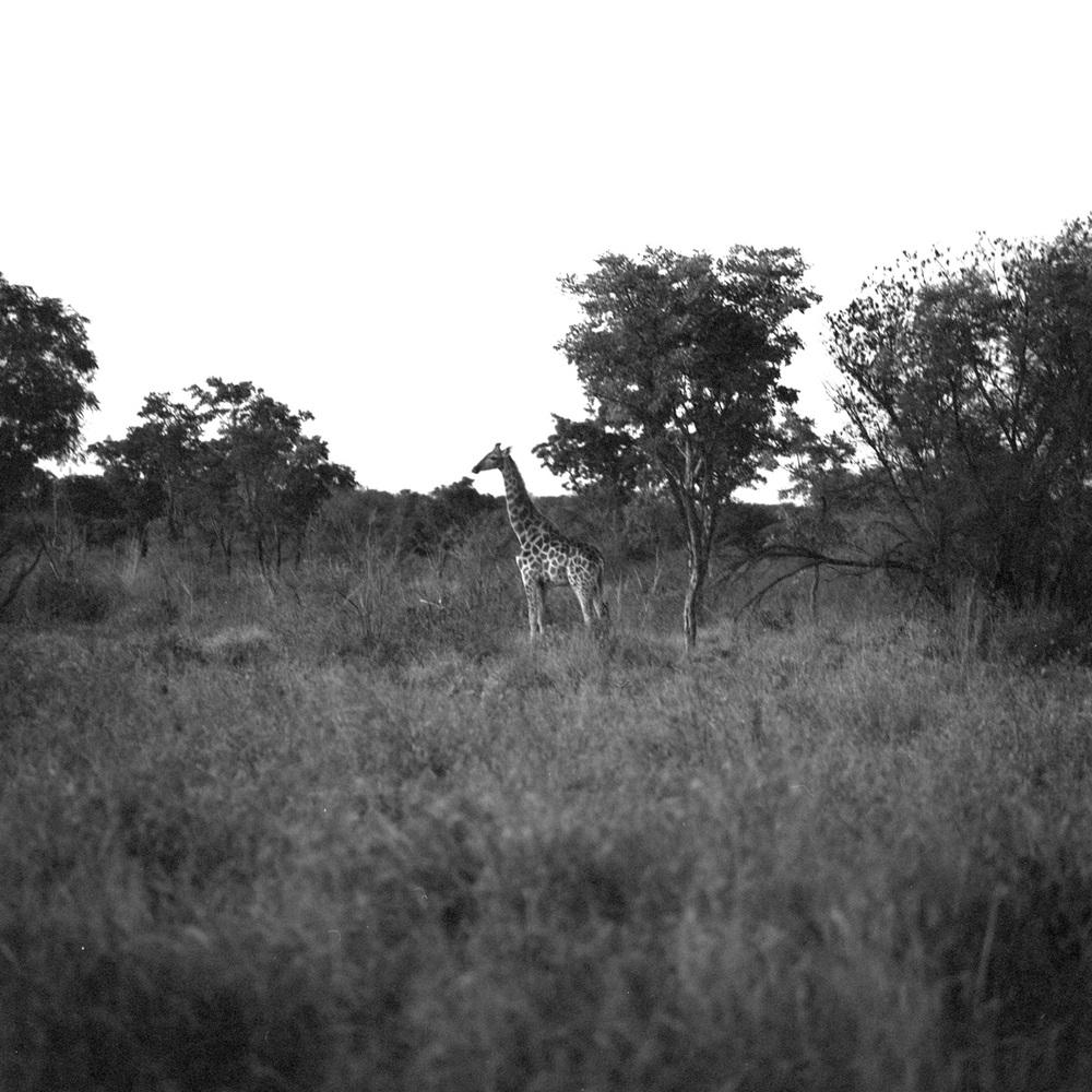 giraffeeve.jpg