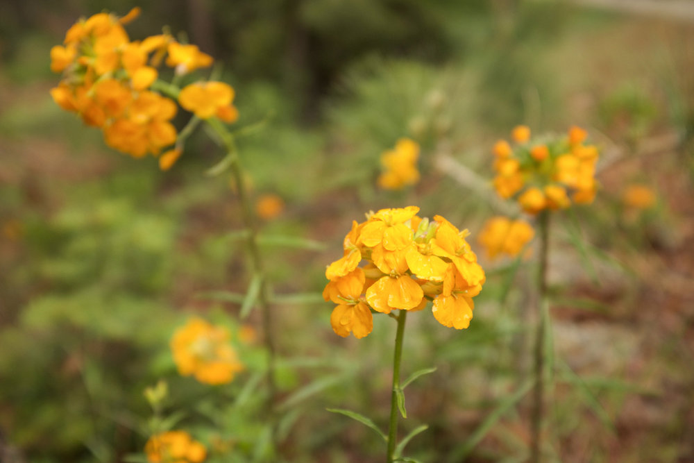 Yosemite Wildflowers | Kaci Nicole.jpg