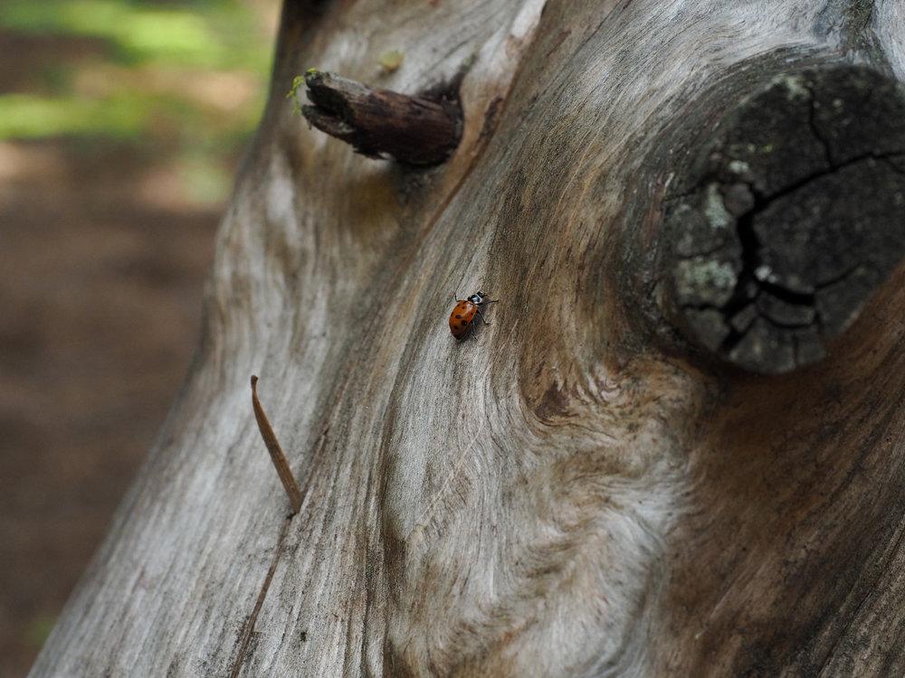 Ladybug | Kaci Nicole.jpg