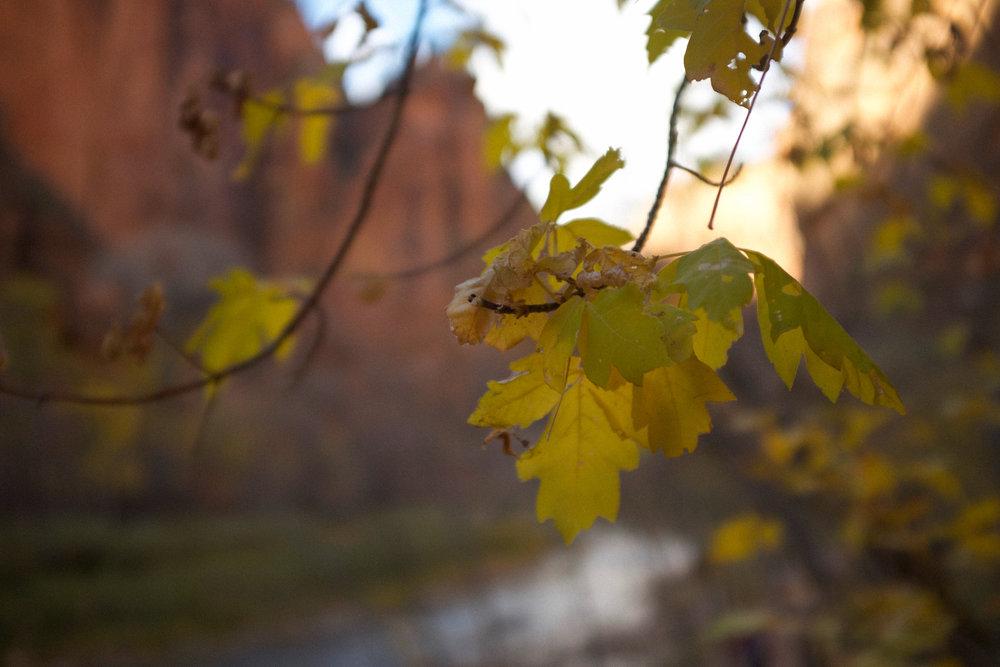 Leaves at Zion National Park | Kaci Nicole.jpg