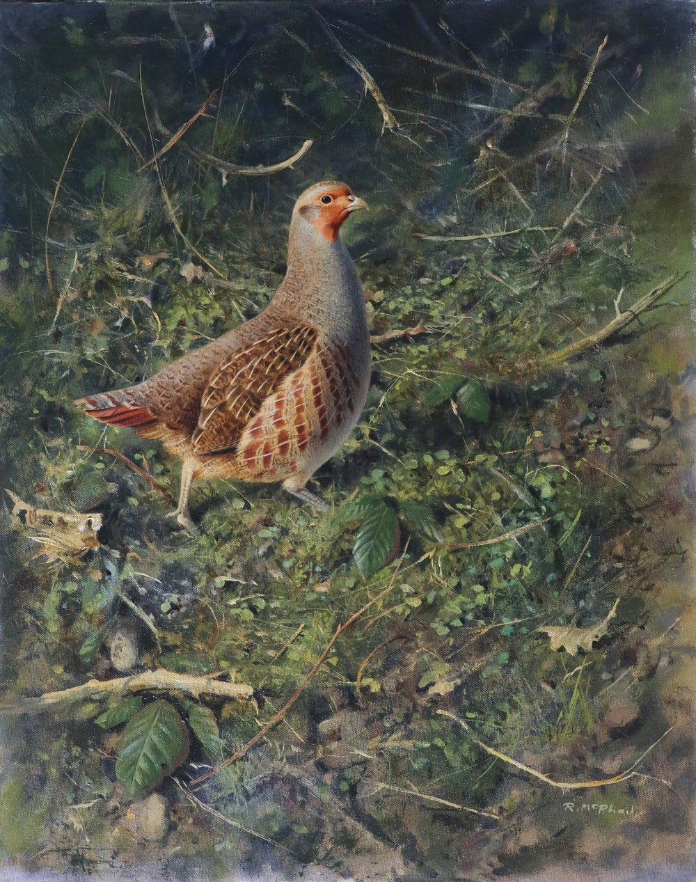 Grey Partridge in Evening Light