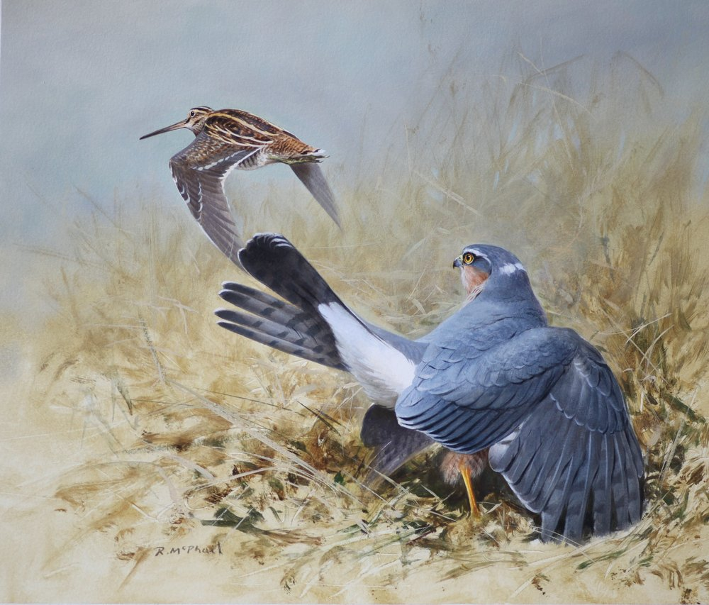 Sparrowhawk & Snipe