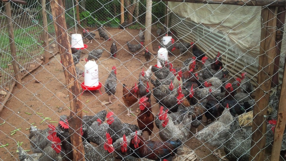 The indigenous meat chickens