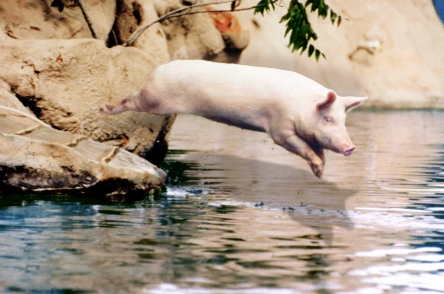 Ralph the swimming pig doing the swine d.jpg