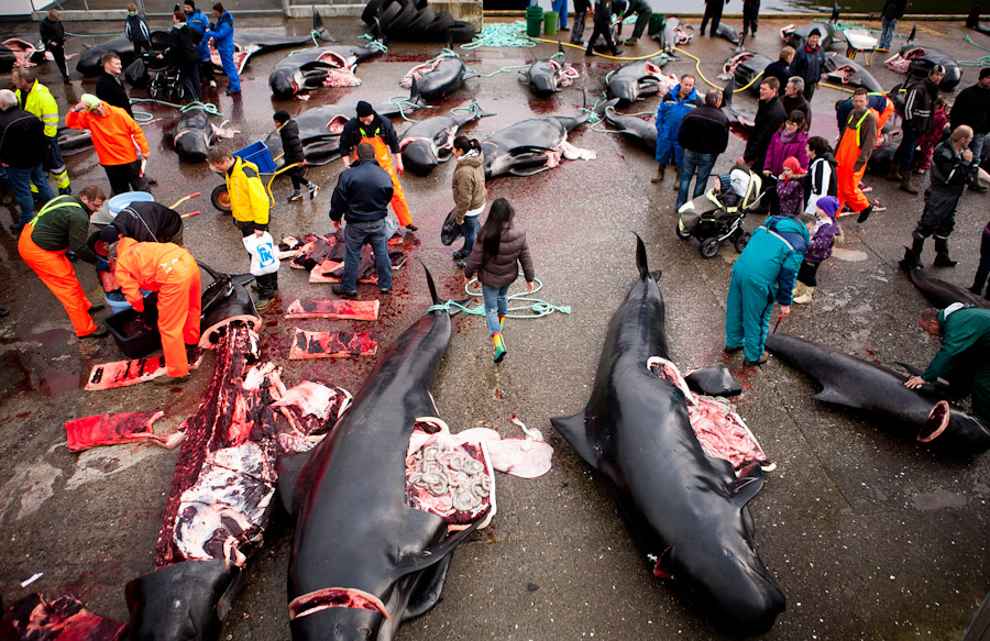 faroe islands whale hunt