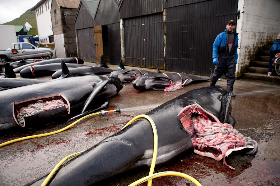 whale killed denmark
