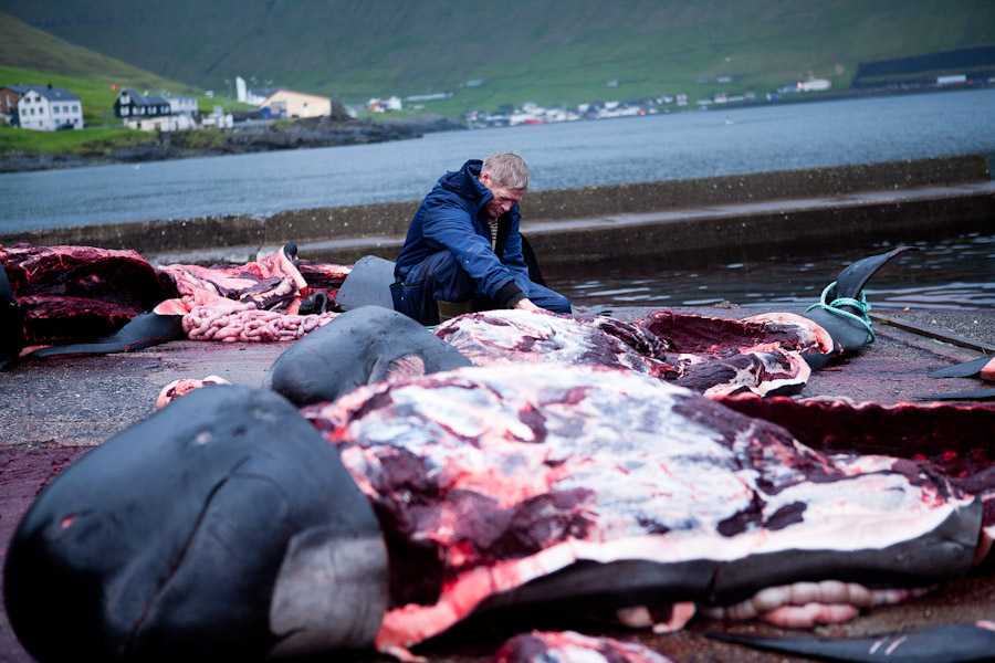 whale hunting faroe islands