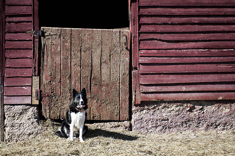 "Quee the border collie takes a break alongside the barn at JMD Farm on Wednesday, Feb. 20, 2013, in Staunton. JMD Farm participates in the Waynesboro Farmers Market, whose manager took part in the Staunton Creative Community Funds, ""How to Be a Farmers Market Vendor"" event."