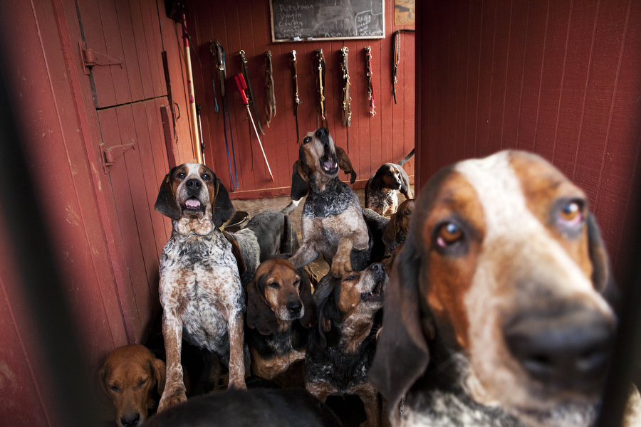 Hounds from Middlebrook Hunt Club gather at the gate before being let loose for the hunt on Wednesday, March 13, 2013 in Middlebrook. Most of the hounds used by local groups are Penn-Marydel hounds, in blue tick and black and tan variations.