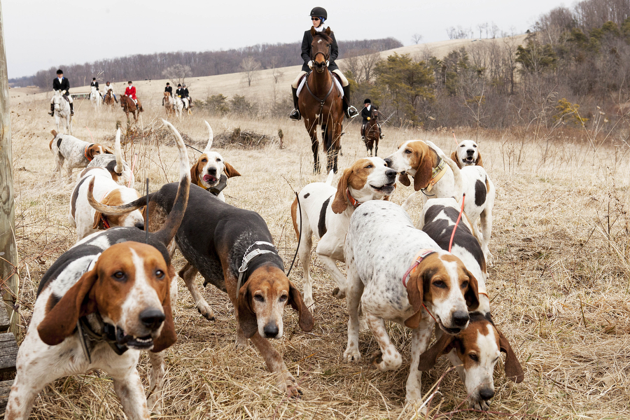 The hounds lead the riders of the Glenmore Hunt Club through a field on Saturday, Feb. 2, 2013, in Staunton. Most of the hunt clubs in the area us Penn-Marydel breeds, with blue tick or black and tan variations.