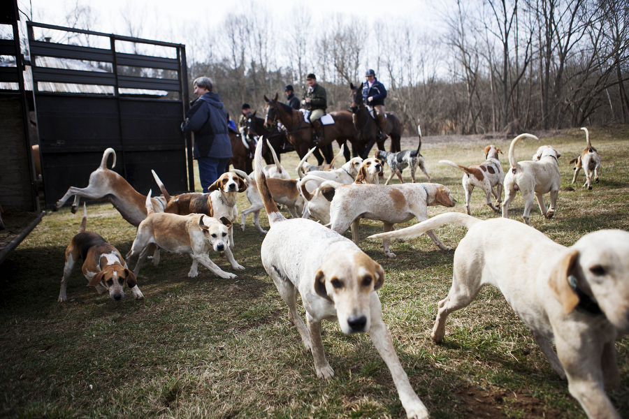 "The hounds are let of out the trailer before the hunt with Rockbridge Hunt Club on Saturday, Feb. 23, 2013 in Lexington. Foxhounds used for fox hunting are never referred to as ""dogs,"" as they are not used as companion animals, but as working animals."