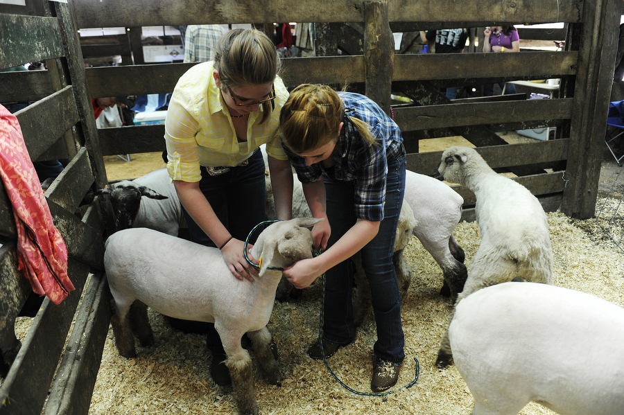 Sisters Naomi and Savannah Ritchie ready their lambs for showing during the Augusta County 4-H and FFA Market Animal Show and Sale on Wednesday, May 1, 2013, in Staunton. This year, the show featured more animals than ever before, even though there were less steers to be shown.