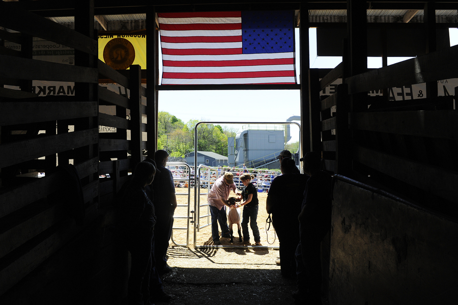 Participants come out of the showing ring after showing their lambs during the Augusta County 4-H and FFA Market Animal Show and Sale on Wednesday, May 1, 2013, in Staunton. This year, the show featured more animals than ever before, even though there were less steers to be shown.