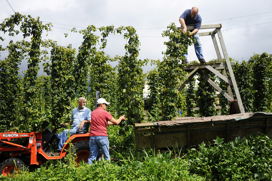 Stan Driver drives a tractor between crowns of bines as Steve Bunch of Stuarts Draft and Devon Kistler of Richmond cut them down during a hops harvest at Blue Mountain Brewery on Wednesday, August 7, 2013, in Afton. Members of the Old Dominion Hops Cooperative came together to help with the hop harvest at the brewery.