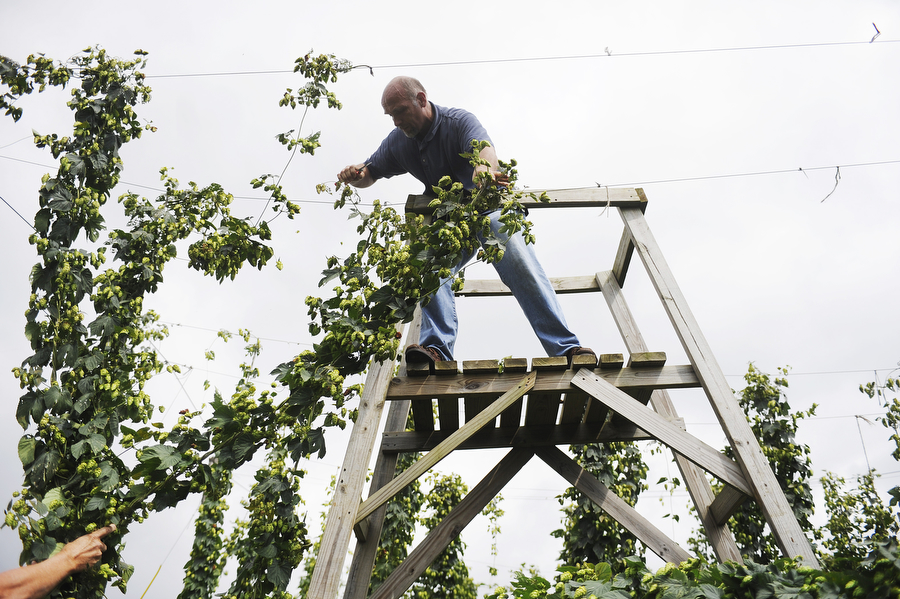 Devon Kistler of Richmond cuts down bines of hops during a hops harvest at Blue Mountain Brewery on Wednesday, August 7, 2013, in Afton. Members of the Old Dominion Hops Cooperative came together to help with the hop harvest at the brewery.