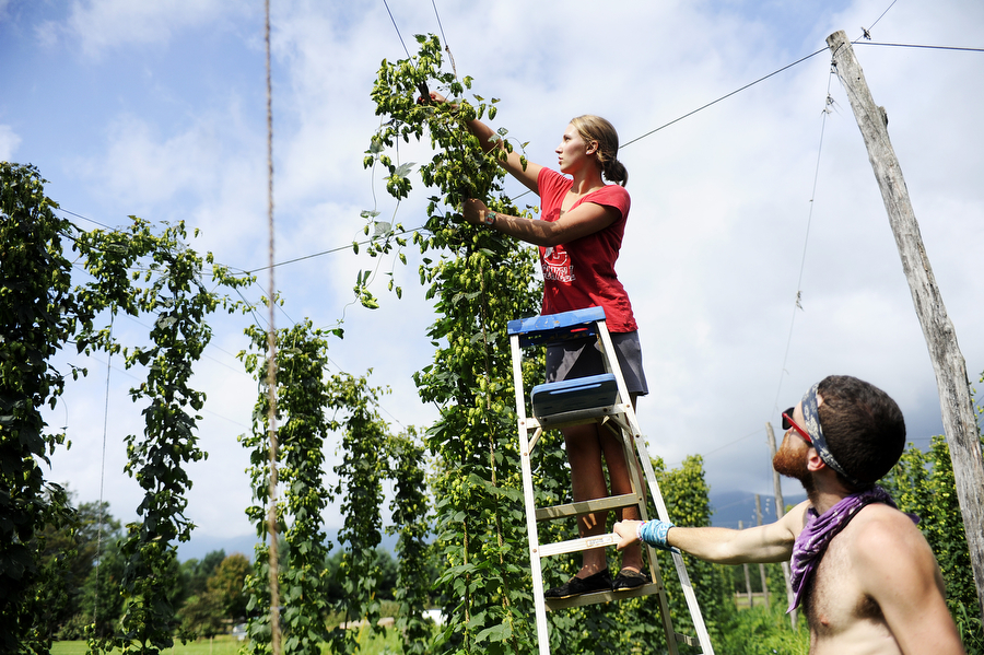 Merielle Stamm cuts down bines of hops as David Lovin helps during a hops harvest at Blue Mountain Brewery on Wednesday, August 7, 2013, in Afton. Members of the Old Dominion Hops Cooperative came together to help with the hop harvest at the brewery.