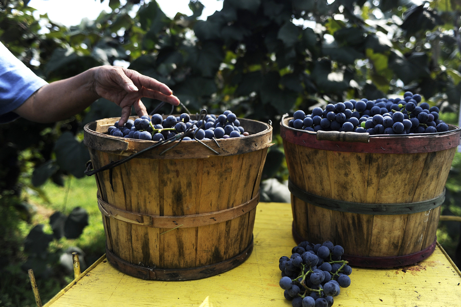 "Ramona Sanchez places a freshly-picked bunch of Concord grapes in a bucket on Monday, Sept. 10, 2013, at Wenger Grape Farm and Vineyard in Waynesboro. Together with Miriam ""Mim"" Wenger, the two can pick nine bushels of grapes an hour ÑÊtwo buckets (pictured) equal one bushel."