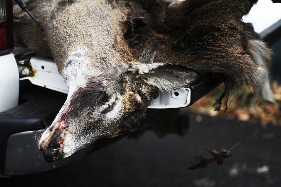 A dead deer is loaded into the back of a VDOT pick-up truck Thursday, Dec. 5, 2013, out on an Augusta County road. Both employees said many of the deer they pick up are carcasses dumped from poachers hunting out of season, and can tell because of which parts are left.